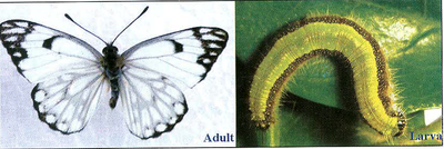 Adult Larva