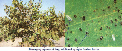 Damage symptoms of bug