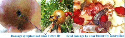 Damage symptoms of anar butter fly