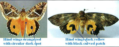 Hind wings orangered with circular dark spot