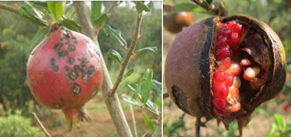Pomegranate Bacterial leaf and fruit spot